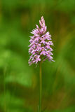 Wild orchid. European wild orchid purple, vertically on a green background Stock Image