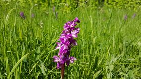 Wild Orchid Flower stock photography