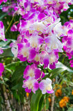 Wild orchid flowers Royalty Free Stock Photography