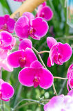 Wild orchid flowers Royalty Free Stock Images
