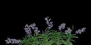 Wild orchid flowers with green leaves in tropical rainforest iso Stock Photo