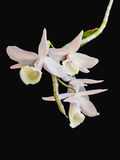 Wild orchid isolated Royalty Free Stock Image
