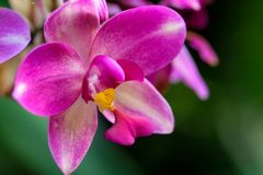 Wild orchid with magenta pink color. Spathoglottis orchid with magenta pink color. This orchiid is geneally found on the ground level in the rain forest of royalty free stock image