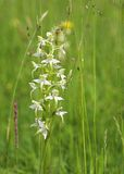 Wild Orchid in a Meadow Stock Photo