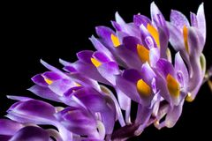 Wild Orchid, Orchid, Blossom, Bloom Stock Photography