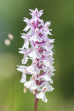 Wild orchid (orchis) Royalty Free Stock Photo