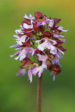 Wild Orchid (Orchis purpurea) Stock Photos