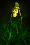 Wild orchid Phragmipedium pearcei in the dark tropic forest. Beautiful yellow orchid in the nature habitat. Flower from Peru tropi Royalty Free Stock Photography