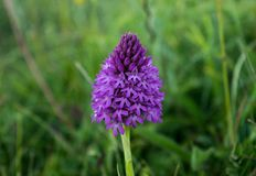 Wild orchid Royalty Free Stock Image