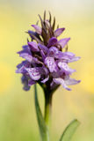 Wild Orchid Stock Photography