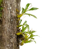 Wild orchid seedling growing on tree isolated on white backgroun Royalty Free Stock Photography