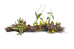 Wild orchid seedling growing on tree Royalty Free Stock Photo