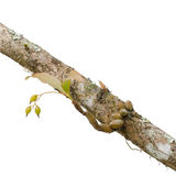 Wild orchid seedling growing on tree Stock Photo