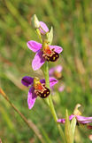 Wild orchid, south england Royalty Free Stock Photo