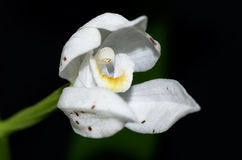Wild orchid Sword-leaved Helleborine Stock Photography