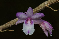 Wild orchid Stock Photos