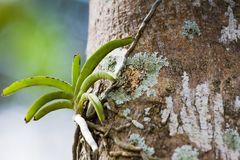 Wild orchid on tree Stock Image