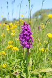 Wild orchid Royalty Free Stock Photography