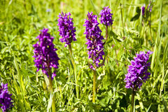 Wild orchids Royalty Free Stock Photography