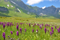 Wild orchids in Alpine meadow Royalty Free Stock Images