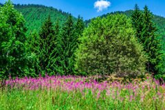 Wild orchids in an Alpine meadow. Melchsee-Frutt, Switzerland Royalty Free Stock Image