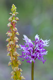 Wild orchids Stock Image