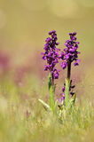Wild Orchids Royalty Free Stock Image