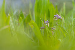 Wild orchids in the field Royalty Free Stock Images
