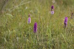 Wild orchids, growing in Northumberland UK Royalty Free Stock Photography