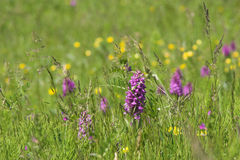 Wild orchids in meadow. Meadow with wild flowers Stock Photo
