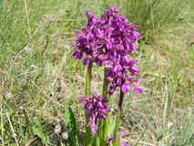 Wild orchids in the meadow ,Anacamptis morio Stock Photography