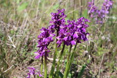 Wild orchids in the meadow Anacamptis morio Royalty Free Stock Photography