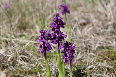Wild orchids in the meadow Anacamptis morio Stock Images