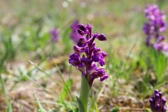 Wild orchids in the meadow ,Anacamptis morio. stock images