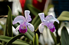Wild orchids. Picture of two wild orchids stock photos