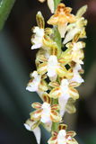 Wild orchids Royalty Free Stock Images