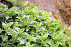 Wild oregano. Growing in a country, spring garden Stock Image