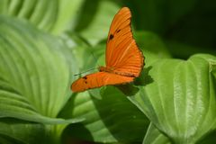 Wild Organge Julia Butterfly resting on leaves. Beautiful orange Julia butterfly resting on a bed of lush green leaves Royalty Free Stock Photos