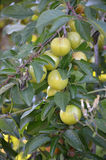 Wild Organic plums on a branch Stock Images