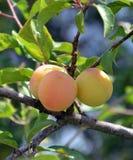 Wild Organic plums on a branch Stock Photos