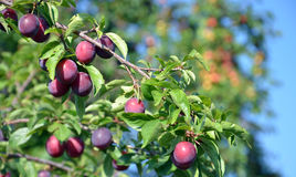 Wild Organic plums on a branch Stock Image