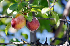 Wild organic  plums Royalty Free Stock Images