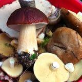 Wild organic white mushrooms in a Bucket royalty free stock image