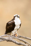 Wild Osprey with Fish In Talons. In Yosemite.  Osprey is Staring Right Into the Camera Lense Royalty Free Stock Photo