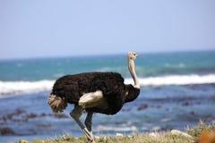 wild ostrich Arkivfoton