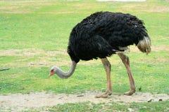 A wild ostrich Stock Photo