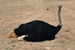 Wild ostrich Royalty Free Stock Photos