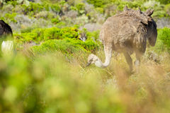 Ostrich in the wild. Wild ostrich walking freely in Cape Town national park Stock Photo