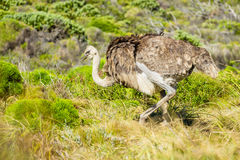 Ostrich in the wild Royalty Free Stock Photography