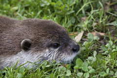 Wild Otter Stock Photography